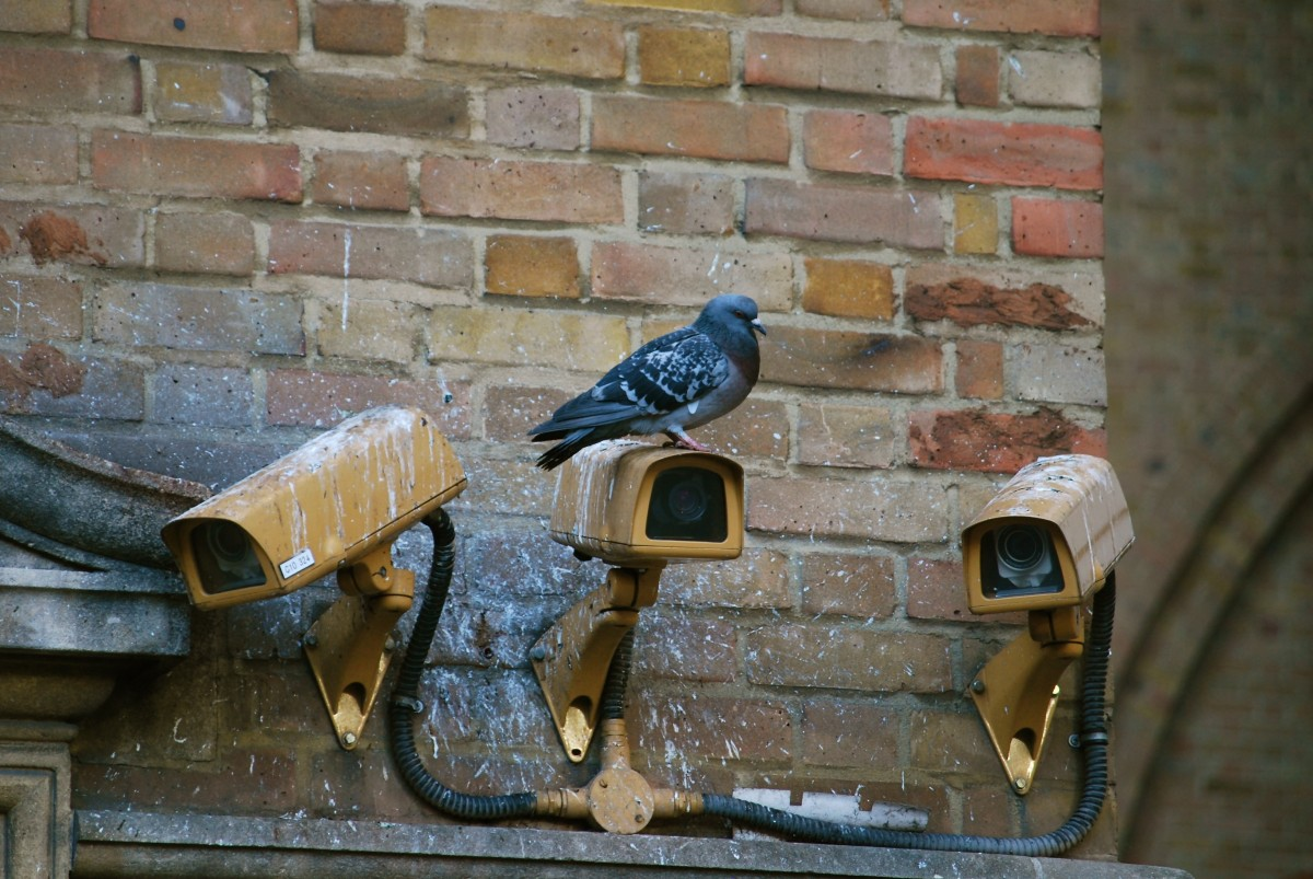 A city-flocking pigeon overlooks the city with the help of his security cameras.